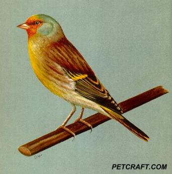 Canary And European Goldfinch Cross
