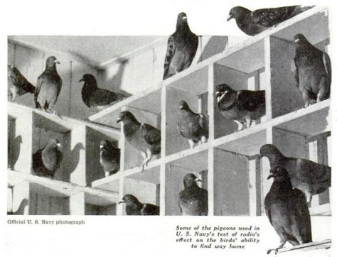 Some of the pigeons used in U.S. Navy's test of radio's effect on the birds' ability to find way home.
