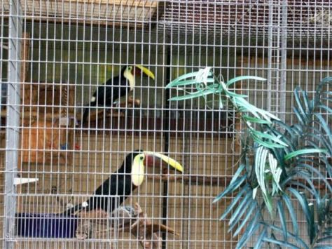 Swainson's toucans