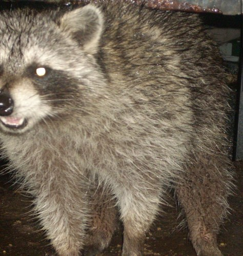 Raccoon at outdoor cat food dish in Jersey City