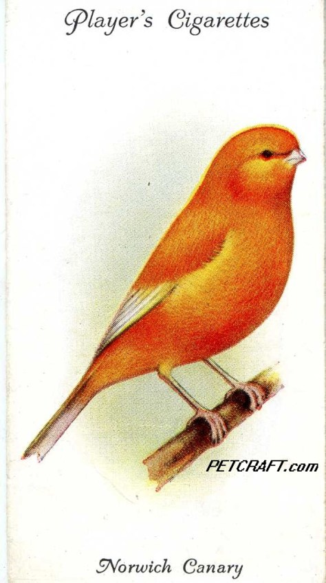 Norwich Canary -- Aviary and Cage Birds John Player UK Cards (1933)