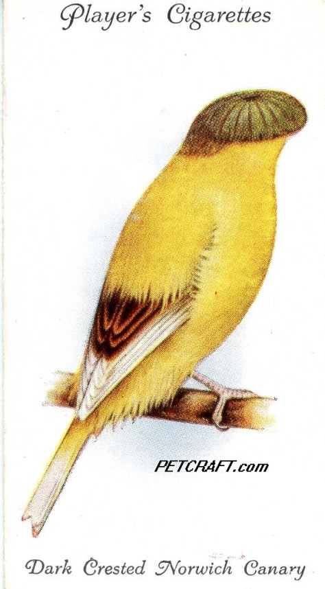 Dark Crested Norwich Canary -- Aviary and Cage Birds John Player UK Cards (1933)