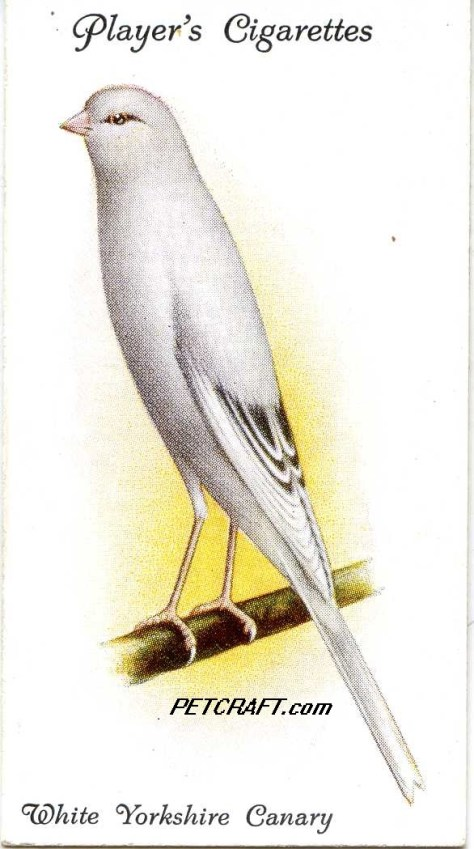 White Yorkshire Canary — AVIARY AND CAGE BIRDS UK CARDS (1933)