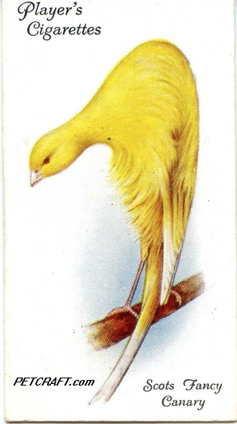 Scots Fancy Canary — AVIARY AND CAGE BIRDS UK CARDS (1933)
