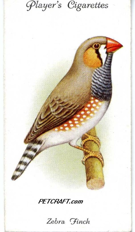 ZEBRA FINCH — AVIARY AND CAGE BIRDS UK CARDS (1933)