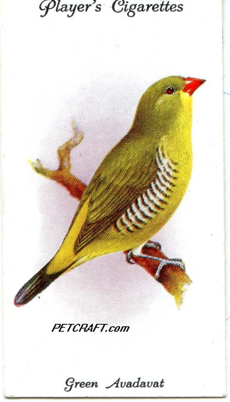 GREEN AVADAVAT— AVIARY AND CAGE BIRDS UK CARDS (1933)