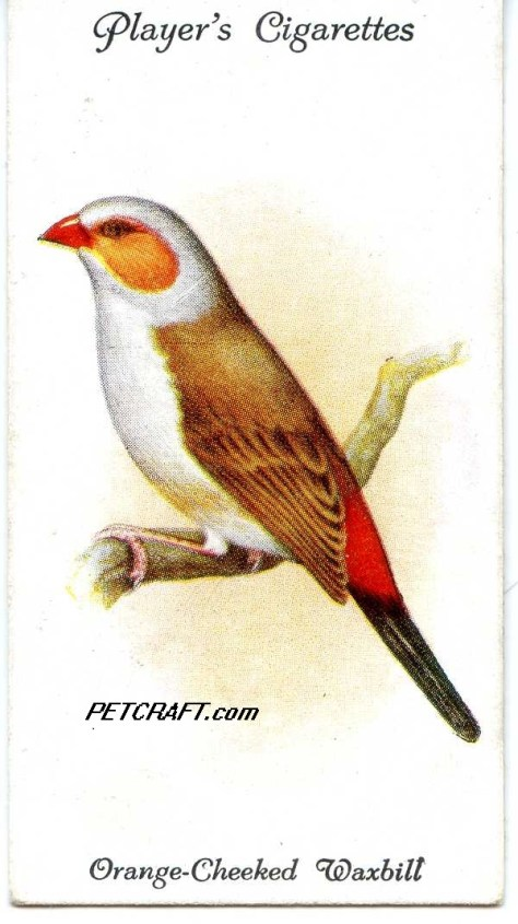 Orange-Cheeked Waxbill — AVIARY AND CAGE BIRDS UK CARDS (1933)