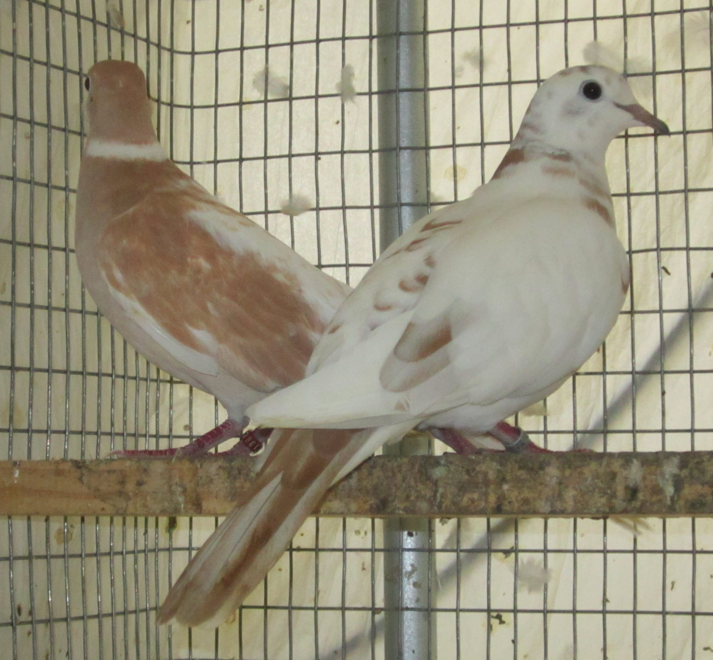 Doves For Sale >> Ringneck Doves For Sale Pairs Petcraft
