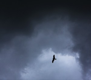 Milvus Milvus (Red Kite) over St the Baptist Aldbury 23 5 16