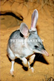 BILBY - AUSTRALIA #2 R4