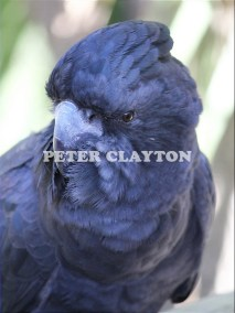 BLACK COCKATOO - AUSTRALIA #2 R5