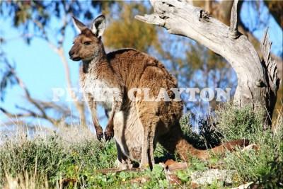 KANGAROO - AUSTRALIA #2 R4