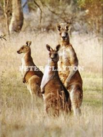 KANGAROOS - AUSTRALIA #1 R5