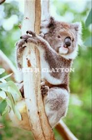 KOALA AUSTRALIA R4  (1)