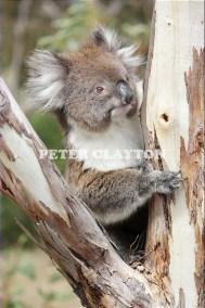 KOALA AUSTRALIA R4  (14)