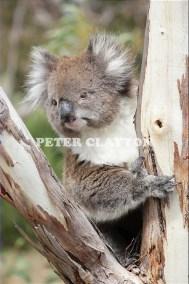 KOALA AUSTRALIA R4  (15)