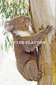 KOALA AUSTRALIA R4  (16)