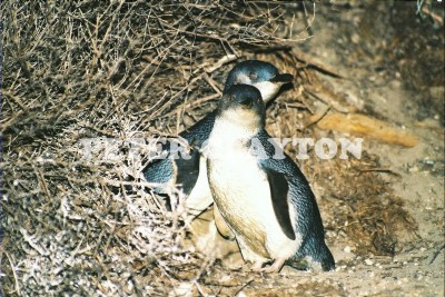 LITTLE PENGUIN AUSTRALIA R4  (3)
