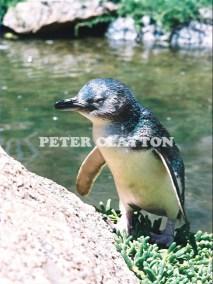 LITTLE PENGUIN AUSTRALIA R5  (5)