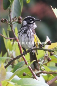 NEW HOLLAND HONEY EATER - AUSTRALIA #1 R4