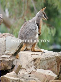 YELLOW FOOTED ROCK WALLABY - AUSTRALIA #4 R5