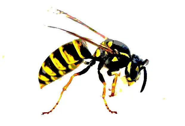 Das Bild einer Wespe