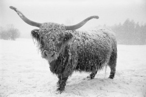 Scotch Highland steer