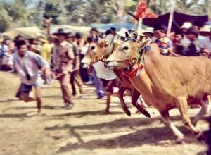 Kerapan Sapi (Bull Races) in Madura, Indonesia