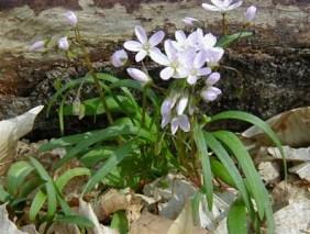 Claytonia J Kelly michiganflora-net