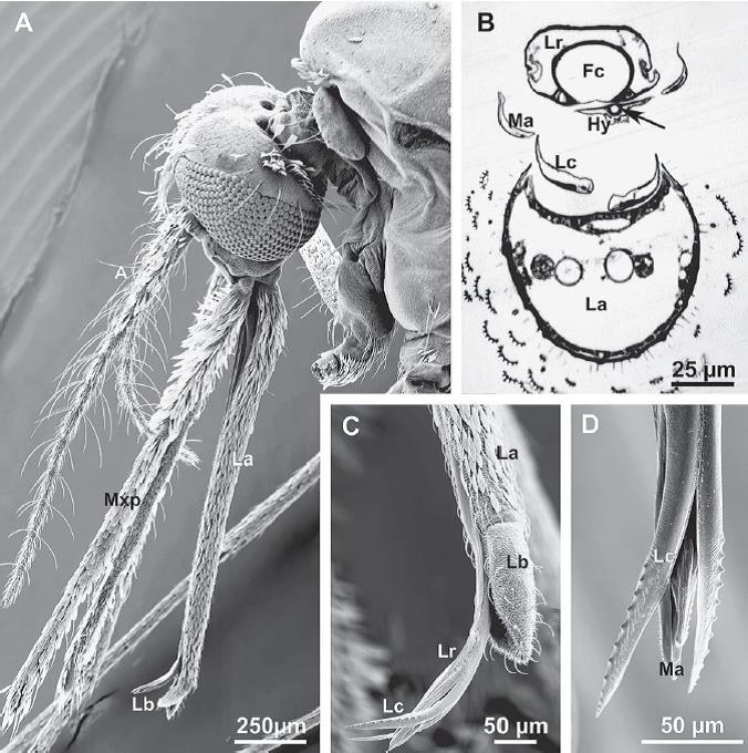 Mosquito mouthparts Krenn Elsevier