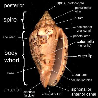 mollusca diagram labeled electron dot for aluminum sulfide peter's seashells - shell morphology