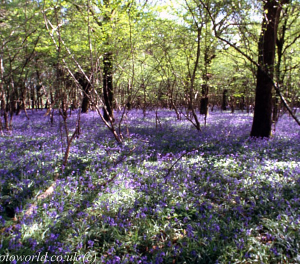 Blue Bells Out of focus technique at Garston Wood