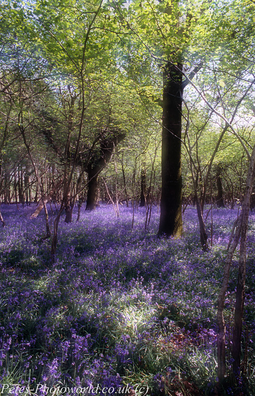 Combined 2 shots of Blue Bells at Garston Wood (5)