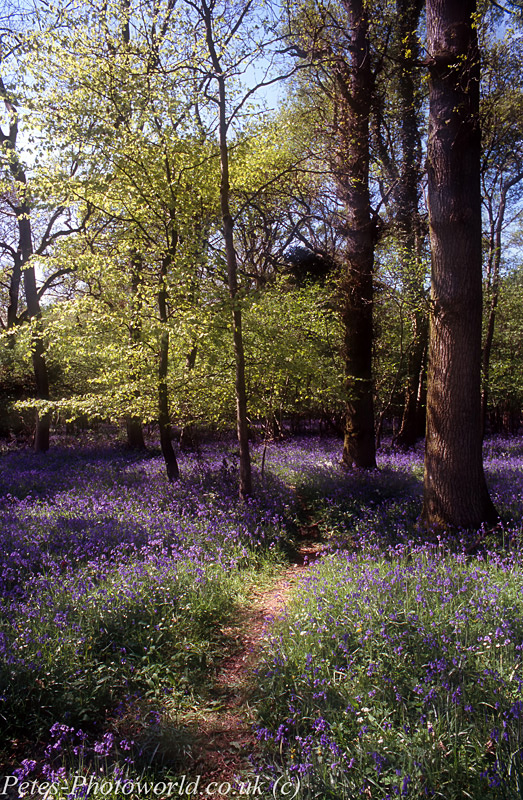 Combined 2 shots of Blue Bells at Garston Wood (3)