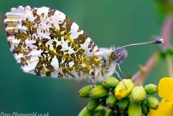 Orange-tip butterfly a little closer