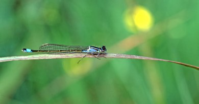 Blue-tailed Damselfly 2nd