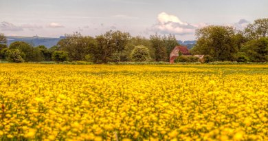 Fiddleford Manor buttercups landscape HDR