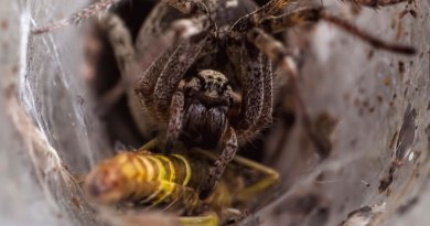 Labyrinth Spider over its prey