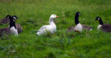 A Snow Goose amongst Canada Geese
