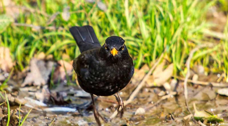 A Blackbird on the charge