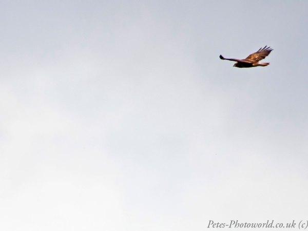 A Red Kite
