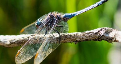 Male Keeled Skimmer