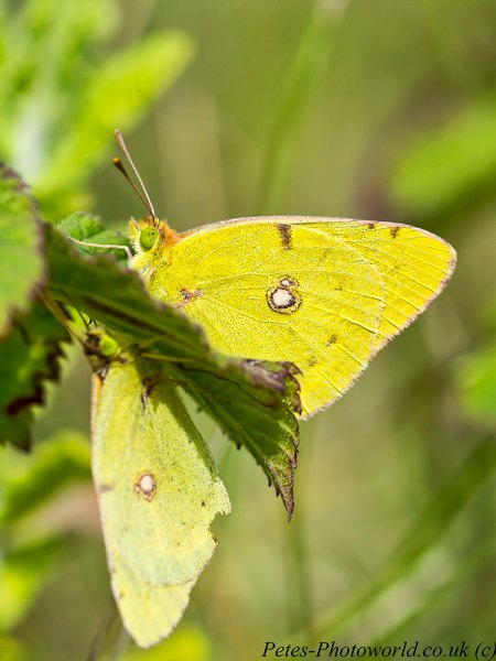 Pair of Clouded Yellow butteflies