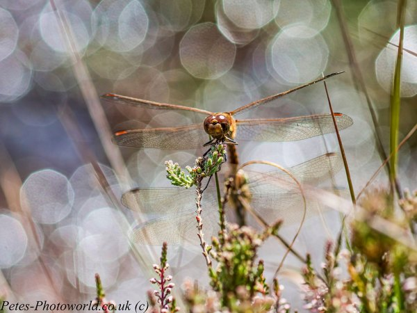 Common Darter face on
