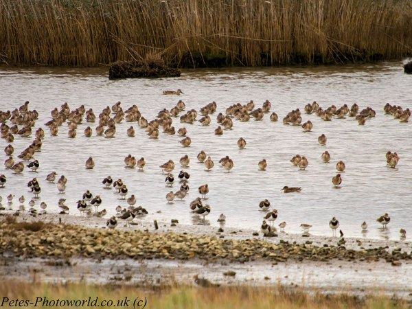 Black-tailed Godwits & Lapwings