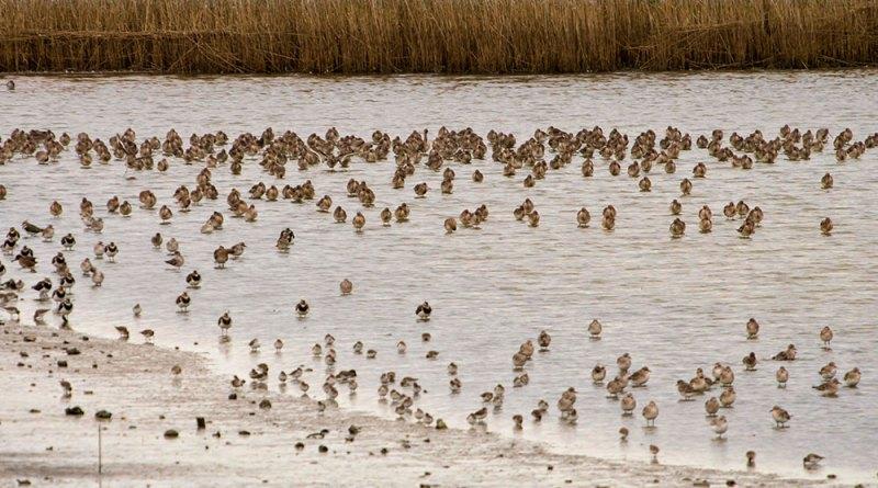 Waders at Farlington marshes