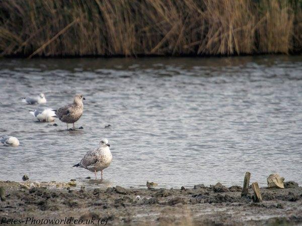 Yellow-legged Gull?
