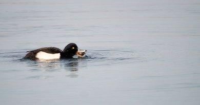 Male Tufted Duck feeding (2)