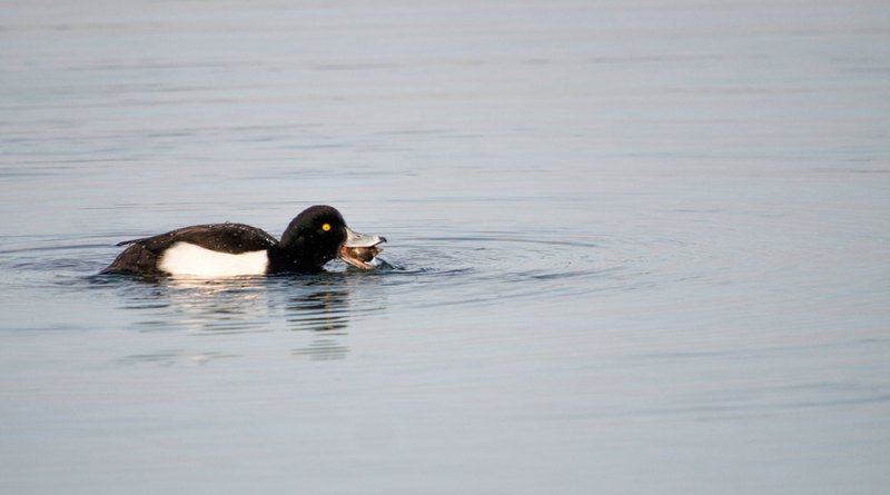 Male Tufted Duck feeding (2)