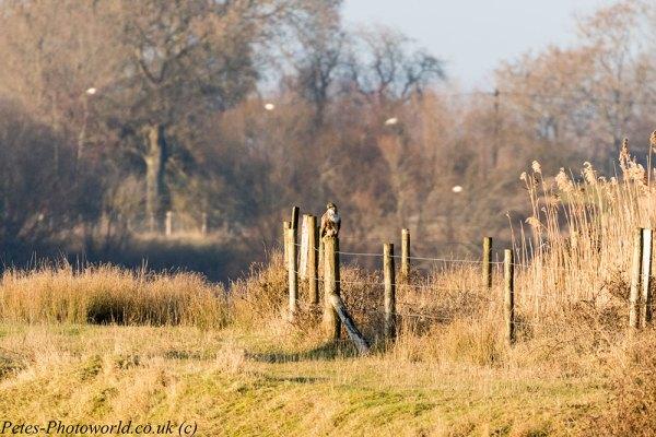 Buzzard sitting on fence post